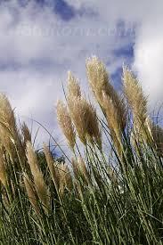 cortaderia selloana pampas grass