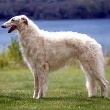 russian wolf hound