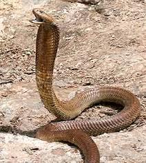 serpentes venenosas