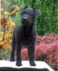 lakeland terrier pictures