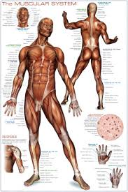 muscular system images