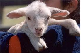 baby lamb photos