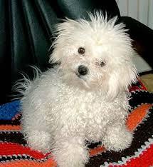 cane di taglia piccola
