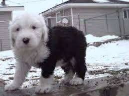 english sheepdog puppies