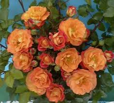 life rose