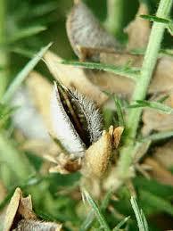 gorse seeds