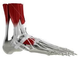 anatomy human foot