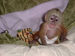 monkey for sell