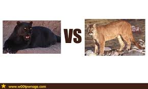 panther vs cougar