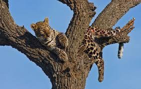 leopard kenya