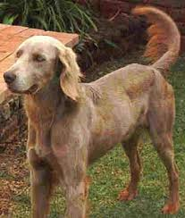 long haired weimaraner