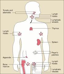 immune system organs