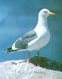 herring gull pictures