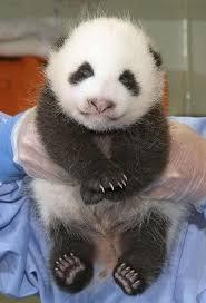 panda bear life cycle