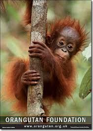 baby orangutan photos