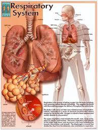 respiratory system human body