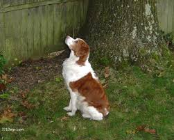 brittany dogs