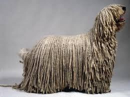 komondor puppy