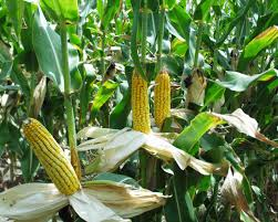 pictures of corn crops
