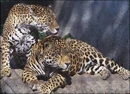 jaguars of the rainforest