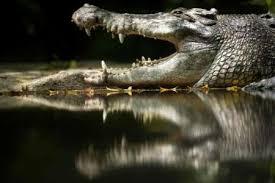 crocodile hides