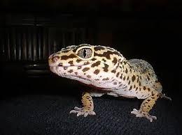pictures of pet lizards