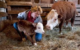 mini hereford cattle