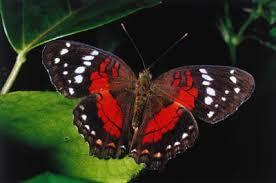 amazon rainforest butterflies