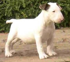 english bull terriers pups
