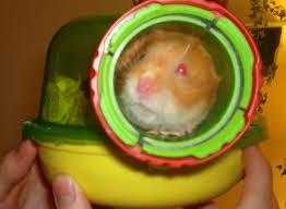 hamster pets