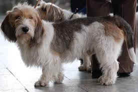 Petit Basset Griffon Vendeen | Retriever Trainer