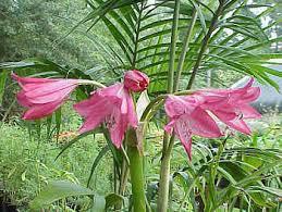 crinum lilies