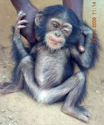 baby chimps for sale