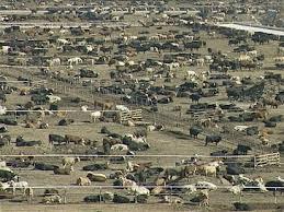 feed yards