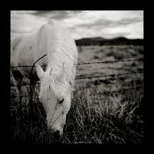 black and white horse picture