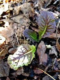 nutrient deficiency plants