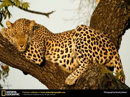 national geographic leopard