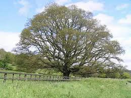 oak trees pictures