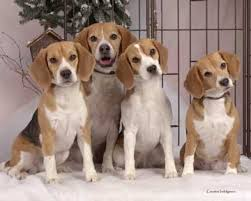 beagles pictures