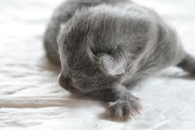 nebelung kittens
