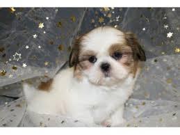 shitzu puppies for sale