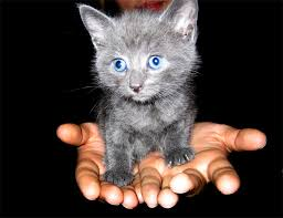 grey cats with blue eyes