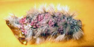 aspen flower