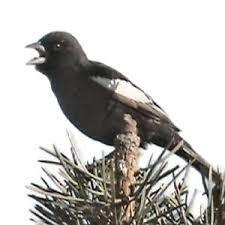 colorado state bird lark bunting