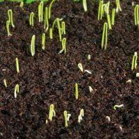 onions seed