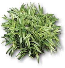 variegated monkey grass