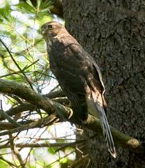 pictures of hawks