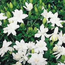 gardenia augusta radicans
