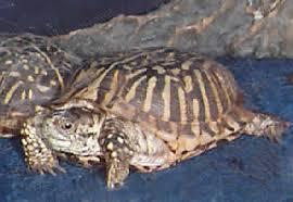 ornate turtles