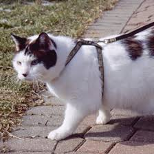 cats leashes